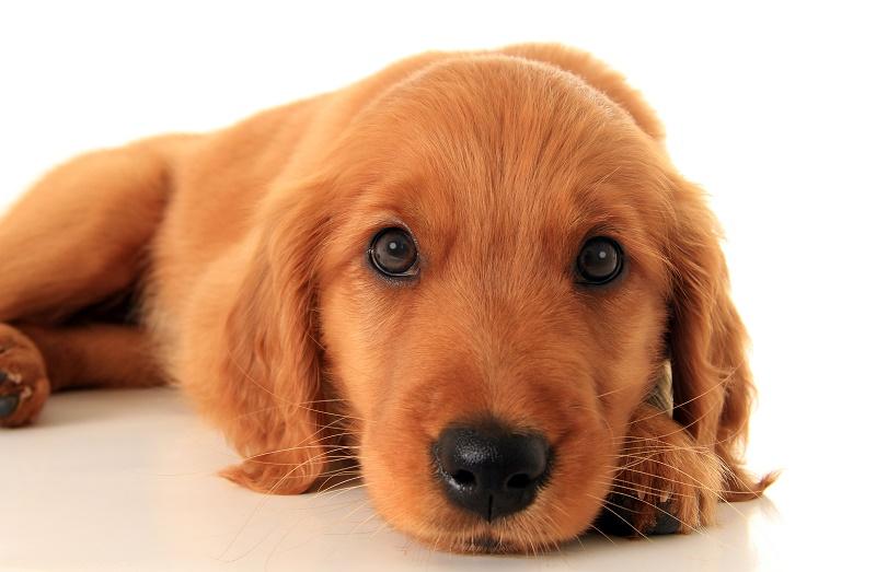 Service puppy dog